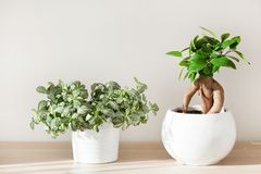 Houseplants fittonia and ficus microcarpa ginseng in white flowerpot stock images