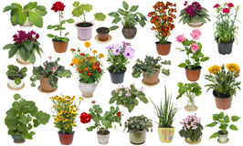 Houseplants and indoor flowers set. Real fresh houseplants and indoor flowers in ceramic and plastic pots big set. Isolated on white royalty free stock photos
