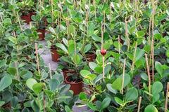 Houseplants med en röd struntsak i mitt, det är fullvuxna in Royaltyfri Bild