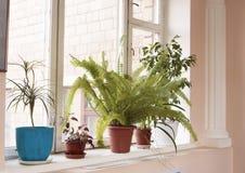 Houseplants på ett fönster Fotografering för Bildbyråer