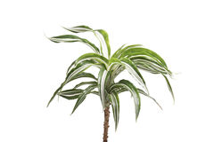 Houseplants palm. Isolated on white Royalty Free Stock Photo