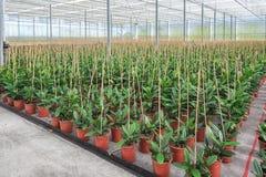 Houseplants som är fullvuxna i ett växthus i Nederländerna Arkivbild