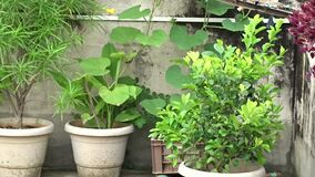 Houseplants at terrace in decorated flower pots kept under full sunlight and fresh air