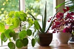Houseplantsanzeige Verschiedene Zimmerpflanzen oder Zimmerpflanzen Lizenzfreie Stockfotografie