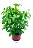 houseplantschefflera Royaltyfria Foton