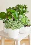 Houseplantsfittoniaalbivenis, peperomia, crassulaovata, echev Royaltyfria Foton