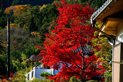 Houses and Maple. The leaves turn red in front of the house Royalty Free Stock Image