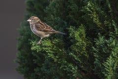 Housesparrow (domesticus del passante) Immagine Stock Libera da Diritti