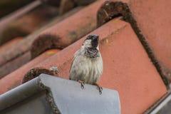 Housesparrow (domesticus do transmissor) Foto de Stock