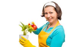 Housewife caring for flower in a pot Stock Image
