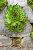 Housleek or Sempervivum tectorum Stock Image