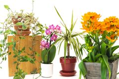 Free Housplants Close Up. Small Indoor Flowers, Orchid, Dracaena, Star Of Bethlehem, Inch Plant Royalty Free Stock Photography - 182097127