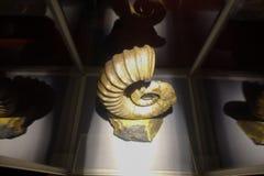 HOUSTON, DE V.S. - 12 JANUARI, 2017: De expositie van de Fosilizedzeeschelp amonites over een witte basis, in Nationaal Museum va Stock Foto
