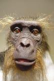 HOUSTON, USA - 12. JANUAR 2017: Schließen Sie oben von einem Affekopf im Nationalmuseum der Naturwissenschaft in Orlando Houston  Lizenzfreies Stockfoto