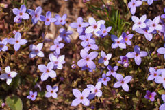 Houstonia pusilla, Least Bluet Royalty Free Stock Photo