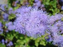 Houstonianum Ageratum Стоковые Изображения