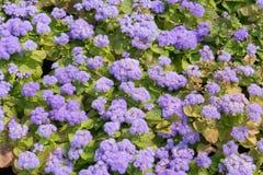 Houstonianum de florescência do Ageratum Imagem de Stock