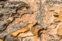 Hout dat door termieten wordt gegeten Stock Foto
