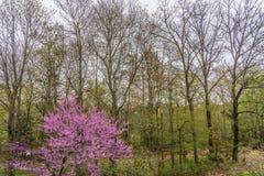 Hout in de lente met nieuwe bladeren en roze bloei op de bomen stock foto