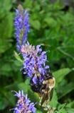 Houtbij en Blauwe Bloemen Stock Foto's