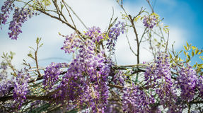 Houtbij & x28; Xylocopa Valga& x29; bestuif purple en lavendelwis royalty-vrije stock fotografie