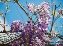 Houtbij & x28; Xylocopa Valga& x29; bestuif purple en lavendelwis stock foto