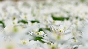 Houten anemoon Royalty-vrije Stock Fotografie
