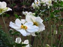 Houten Anemoon, Anemone Nemorosa-het bloeien De mooie bloemen van de de zomer witte tuin stock afbeelding