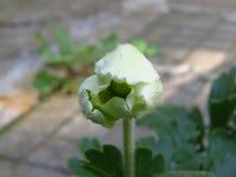 Houten Anemoon, de bloeiende knop van Anemone Nemorosa royalty-vrije stock fotografie