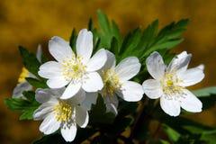 Houten anemoon die in de vroege lente bloeien stock foto's