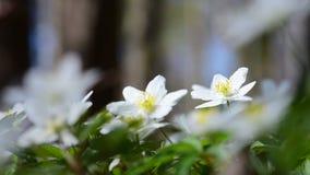Houten anemoon en zanglijster stock video