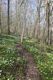 Houten anemoon in het bos royalty-vrije stock afbeelding