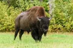 Houten bizon & x28; Bizonbizon athabascae& x29; Royalty-vrije Stock Foto's
