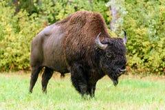 Houten bizon & x28; Bizonbizon athabascae& x29; Royalty-vrije Stock Foto