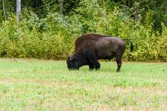 Houten bizon & x28; Bizonbizon athabascae& x29; Royalty-vrije Stock Fotografie