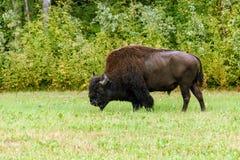 Houten bizon & x28; Bizonbizon athabascae& x29; Stock Afbeelding