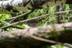 houten boomstam die de landweg in een weelderig groen de lentebos blokkeren Stock Fotografie