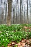 Houten bos witte wildflower van de anemoonlente Royalty-vrije Stock Afbeeldingen