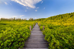 Houten brug en mangrovegebied Stock Afbeeldingen