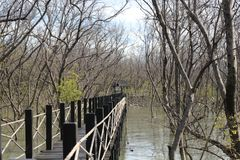 Houten brug in mangrovebos Royalty-vrije Stock Afbeelding