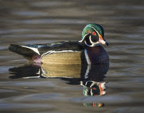 Houten Duck Drake Royalty-vrije Stock Afbeeldingen