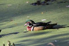 Houten Duck Drake in de Zon royalty-vrije stock fotografie