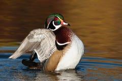 Houten Duck Flapping Wings Stock Foto