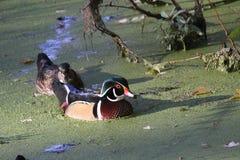 Houten Duck Pair in de Zon stock fotografie