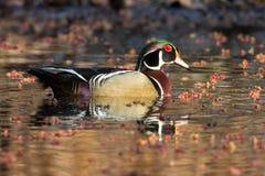 Houten Duck Sunset Royalty-vrije Stock Afbeelding