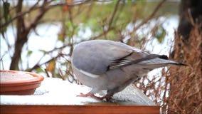 Houten duif, groot, duif, het voeden vogelvoedsel in sneeuw stock video