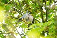 Houten duifpartners die in boom nestelen die vooruit eruit zien Stock Fotografie