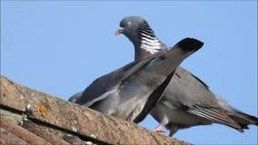 Houten duiven die en met elkaar flirten opmaken stock videobeelden