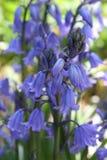 Houten Hyacinten Royalty-vrije Stock Foto's