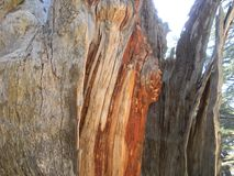 Houten Korrel, Cedar Wood, de Ceder van Libanon royalty-vrije stock foto's